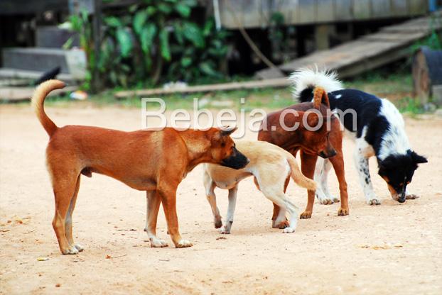 anjing-kampung-pemburu-babi