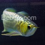 Arwana Golden Crossback