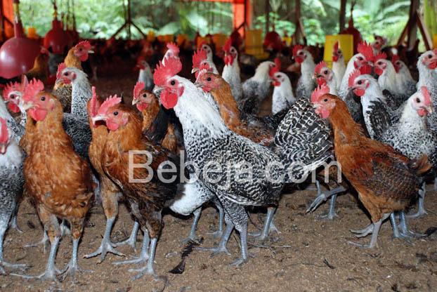 ayam-arab