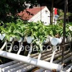 Panen Kangkung Hidroponik