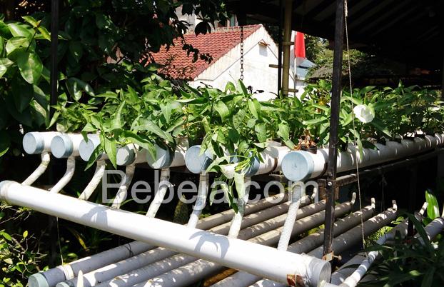 hidroponik-kangkung-di-halaman-rumah