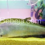 Ikan Belida Saksi Sejarah Bumi