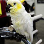 Bebaskan Kakatua Jambul Kuning