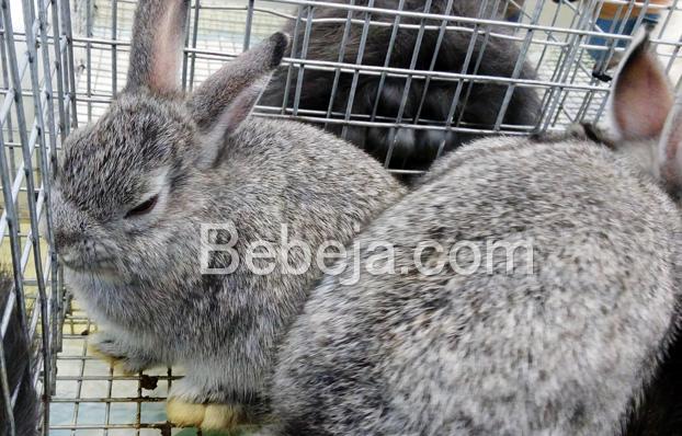 kelinci-hias-netherland-dwarf