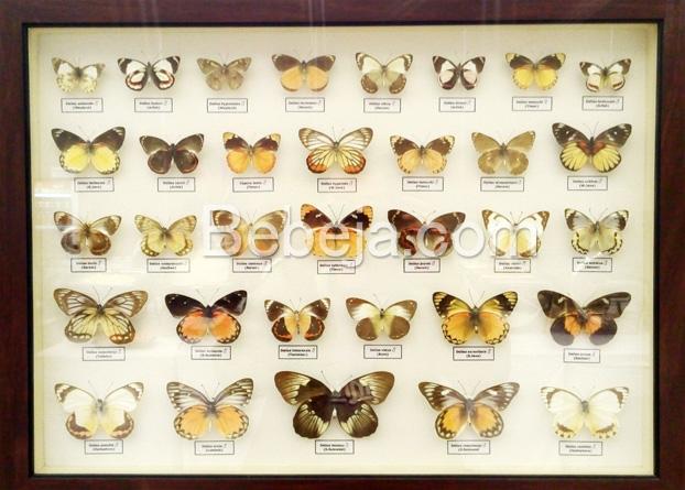 konservasi-kupu-kupu