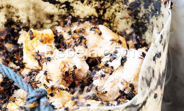 lebah-penghasil-madu