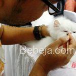 Bersolek Jelang Kontes Kucing
