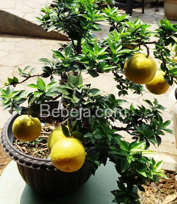 bonsai-jeruk