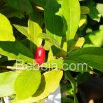 Miracle Fruit, Buah Perubah Rasa