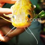 Sedapnya Ikan Baung