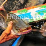 Tubuh Bongsor Ikan Tapah
