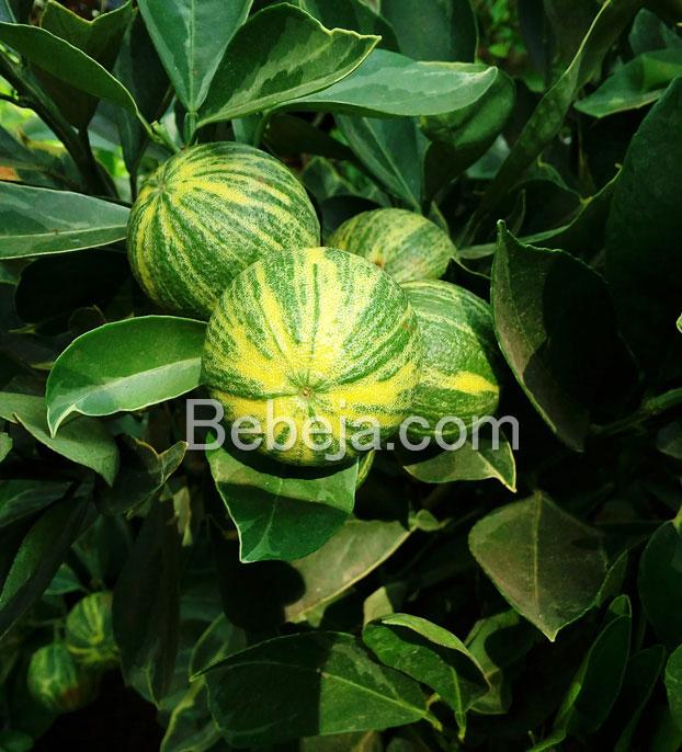 jeruk-sunkist-variegata