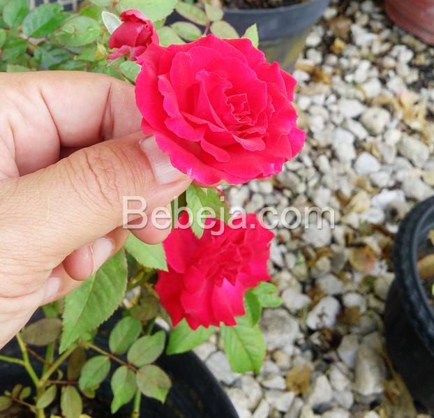 mawar-merah-di-pekarangan