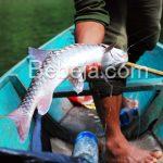 Pembesaran Ikan Jelawat