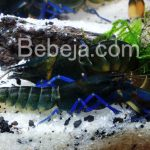 Lobster Air Tawar Cantik Dari Papua