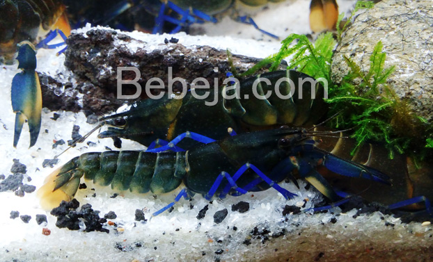 lobster-air-tawar-cantik-dari-papua