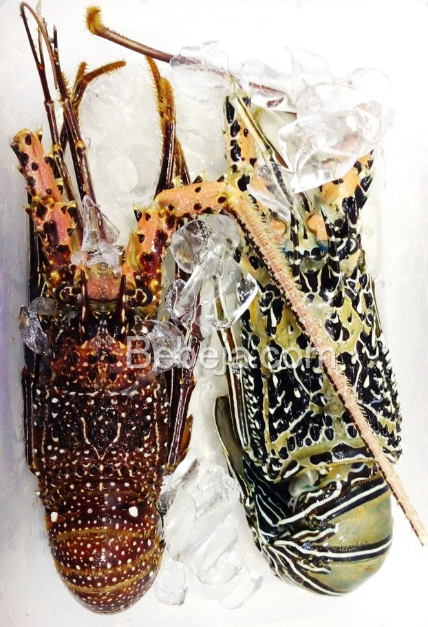 lobster-laut