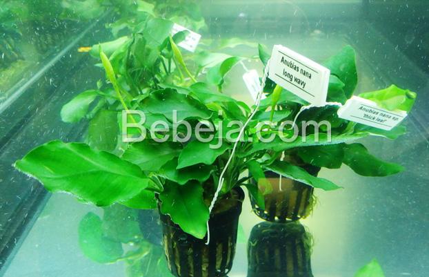 tanaman-air-anubias-nana