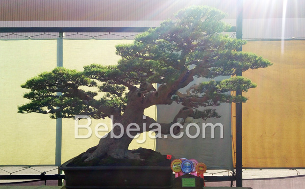bonsai-cemara-udang-best-in-show-madya-pada-gebyar--bonsai-bandung-juara-2016