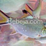 Ikan Lampam Suka Roti Gabin