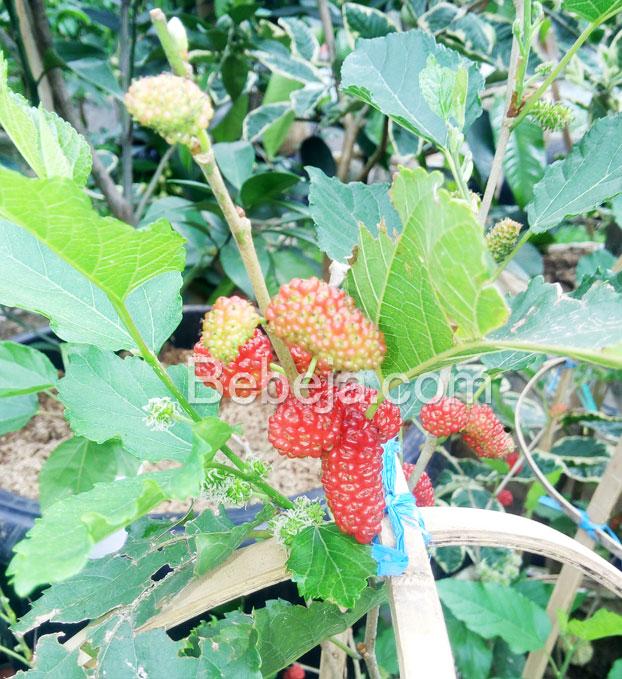 khasiat-buah-murbei