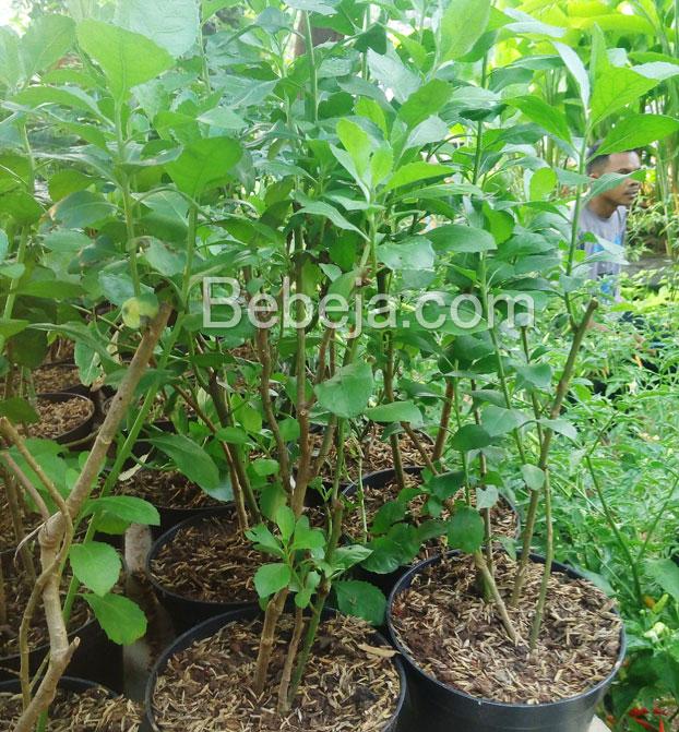 khasiat-daun-beluntas