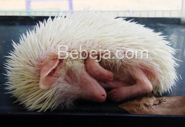 landak-mini-african-pygmy-hedgehog