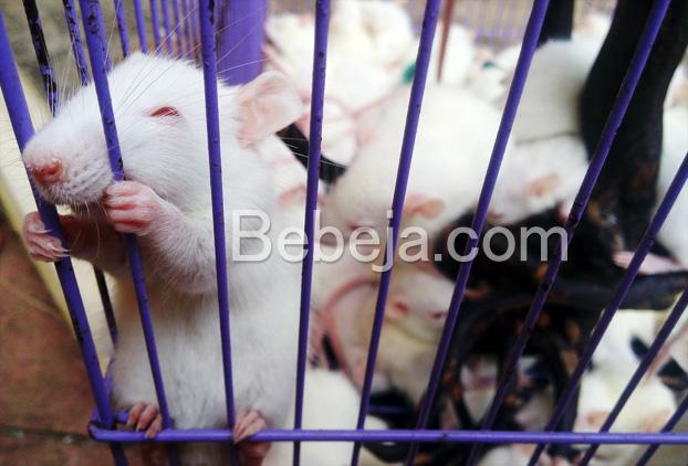 peluang-usaha-beternak-tikus-putih