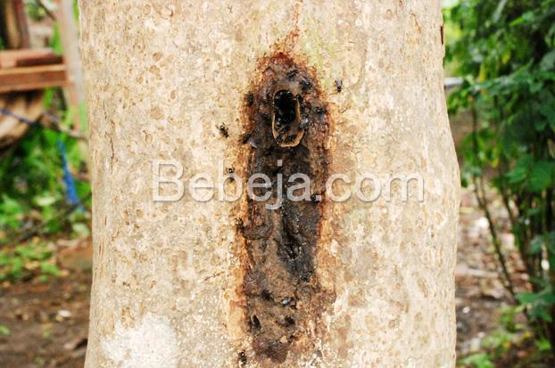 sarang-lebah-trigona-di-pohon