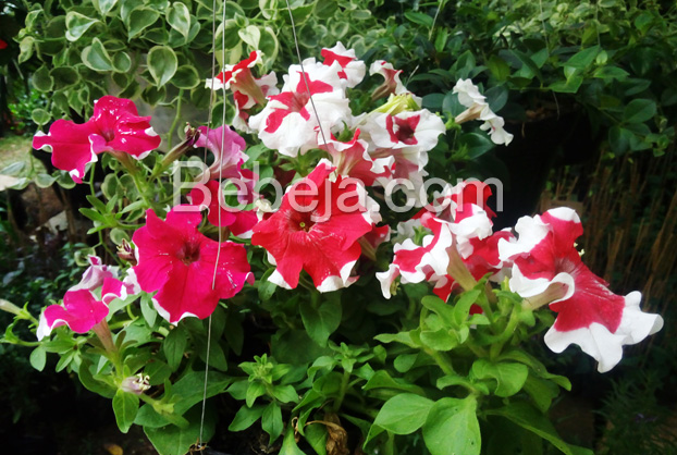 semarak-bunga-petunia