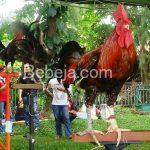 Ayam Ketawa Endemik Sulawesi Selatan