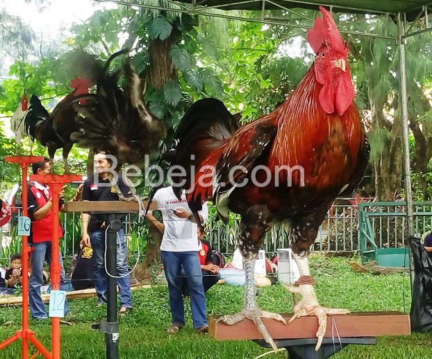ayam-ketawa-endemik-sulawesi-selatan