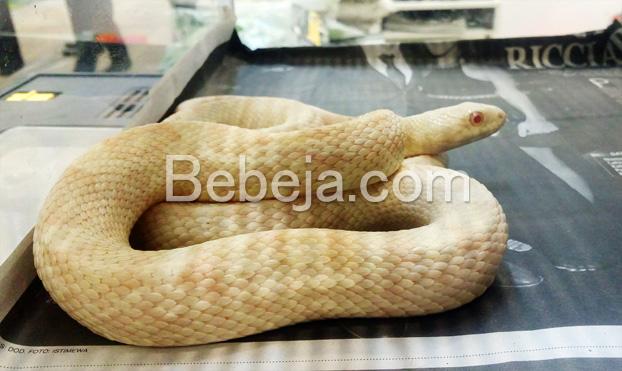 corn-snake-albino