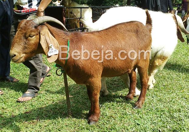 kambing-boer-pertumbuhan-cepat