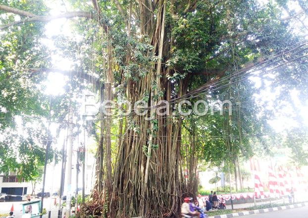 pohon-beringin-penyerap-karbon