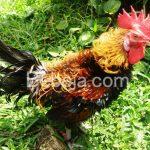 Sumedang Sentra Ayam Walik
