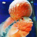 Nongnong Besar Ikan Louhan