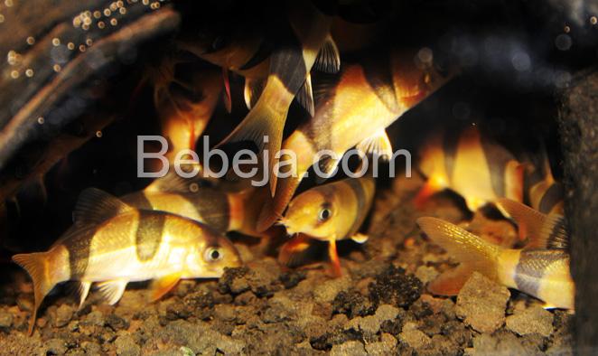 budidaya-ikan-botia