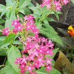 Bunga Pentas Berpenampilan Menawan