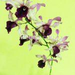 Anggrek Hibrida Dendrobium taurinum X Den. lily doo