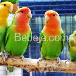 Lovebird Si Burung Cinta