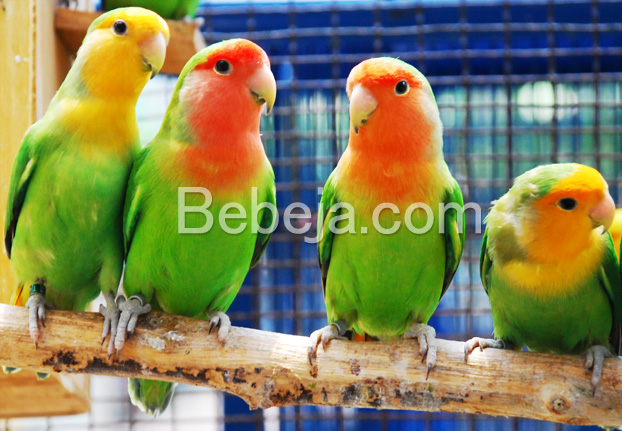 pesona-burung-lovebird