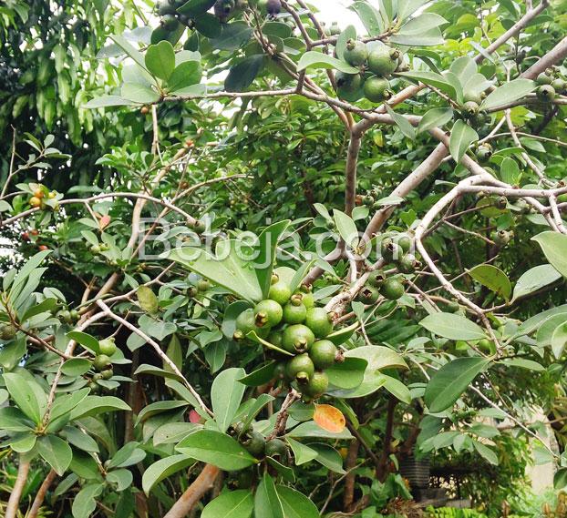 pineapple-cherry-guava