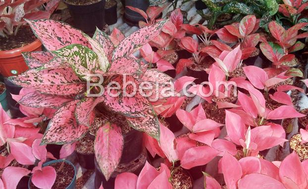 aglaonema-daun-merah