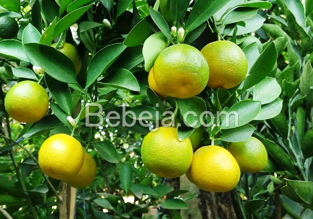 jeruk-kip-dan-perayaan-imlek