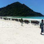 Ada Kerbau Di Pantai Selong Belanak Lombok
