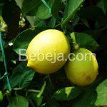 Peluang Bisnis Berkebun Jeruk Lemon