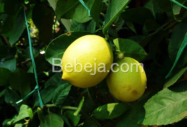 peluang-bisnis-berkebun-jeruk-lemon