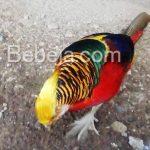 Ayam Emas Golden Pheasant