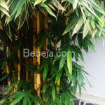 Bambu Kuning Penolak Bala